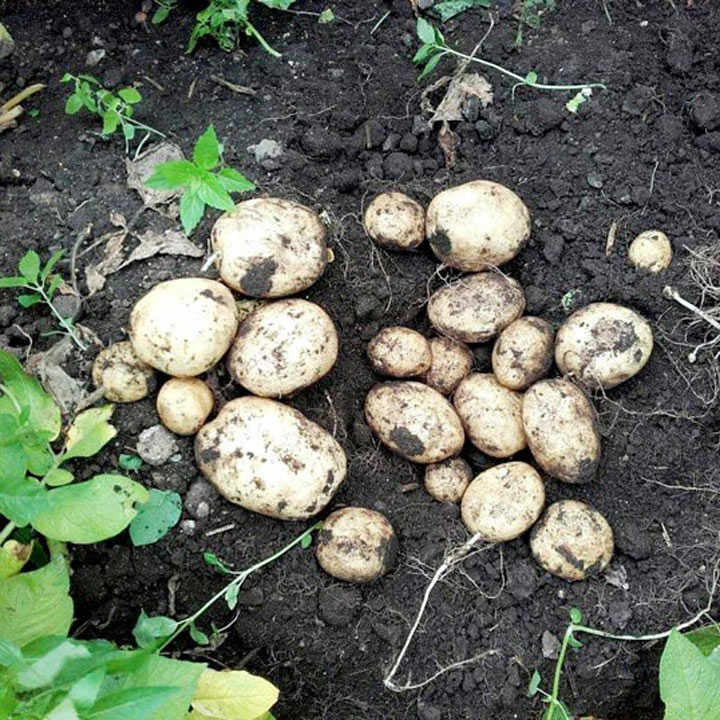 Seed Potatoes - Kingsman