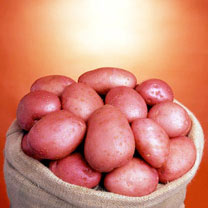 Seed Potatoes -