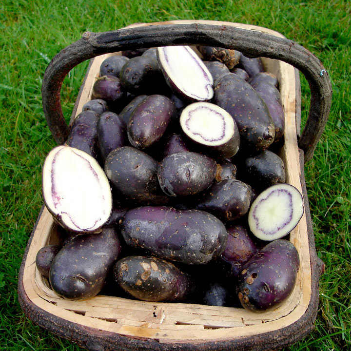 Seed Potatoes - Shetland Black