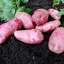 Seed Potatoes - Red Emmalie