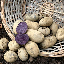 Seed  Potatoes - Violetta
