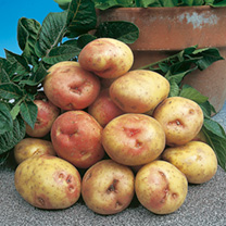 Seed Potatoes - King Edward 1kg