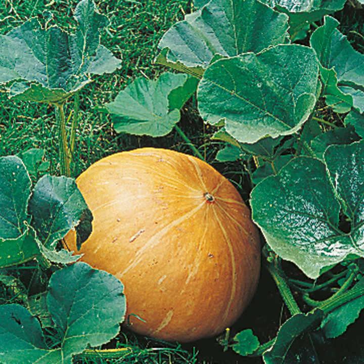 Pumpkin Seeds - Mammoth