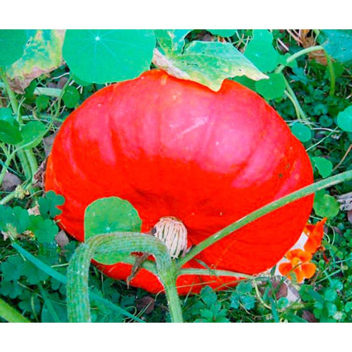 Pumpkin Seeds - Rouge Vif d'Etampes