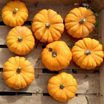 Pumpkin (Organic) Seeds - Jack Be Little