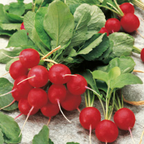 May be sown over a long season so a very flexible variety. Attractive, cherry-red, globe-shaped roots, approximately 2. 5-3. 5cm (1-1) in diameter, wi