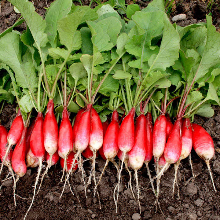 Radish (Organic) Seeds - French Breakfast