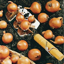 Shallot Bulbs - Red Sun