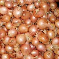 Image of Shallot Seeds - Ambition F1