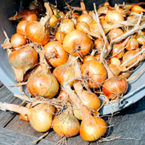 Shallot Bulbs - Golden Gourmet