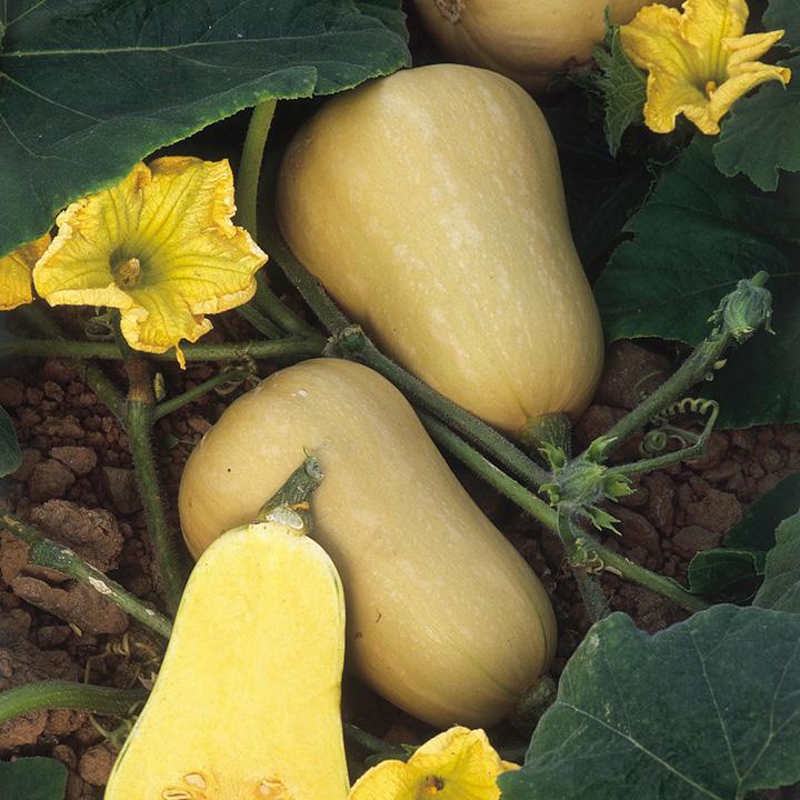 Squash (Organic) Seeds - Butternut