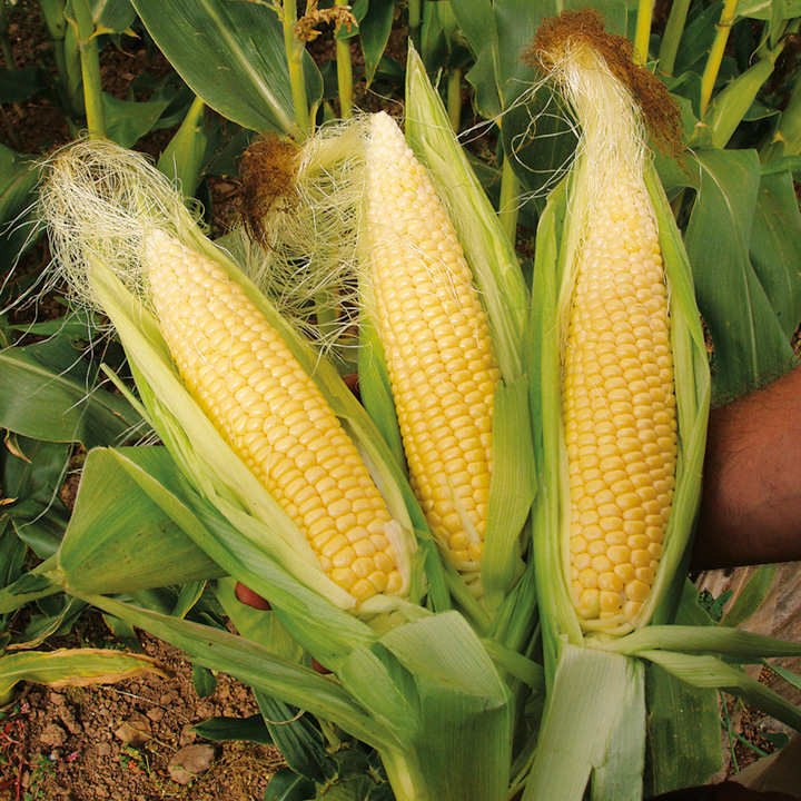 Sweet Corn Seeds - Sweetie Pie F1