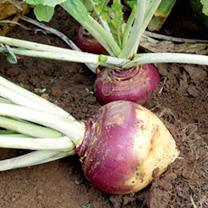 This vigorous, uniform hybrid grows well even on poorer soils. The attractive globe-shaped, purple-shouldered roots boast tasty, fine-textured, cream-
