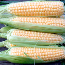 Sweet Corn Plants - F1 Sundance