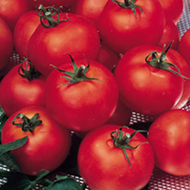 Grafted Tomato Plant - F1 Shirley
