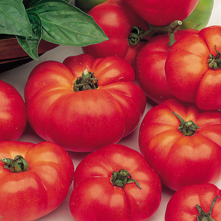 Tomato Plants - Marmande