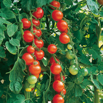 Grafted Tomato Plants - Gardener's Favourite Collection