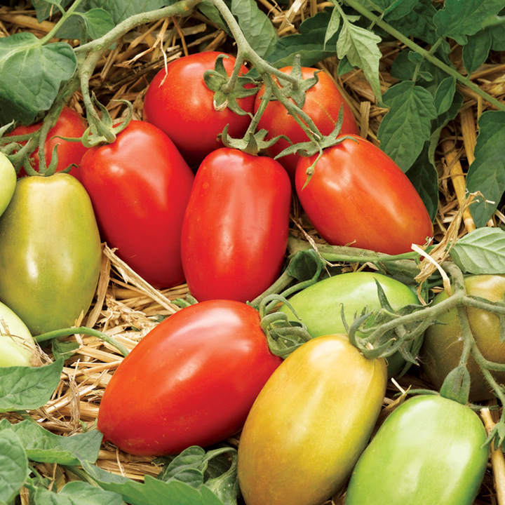 Seeds 50 Seeds Ecological Tomato Black Plum