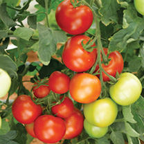 Well known for reliably producing heavy crops. Large trusses of medium-sized fruit. Ideal for greenhouse or outdoor growing. An essential element of y
