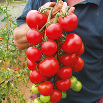 Tomato Turbo Elegance Plants