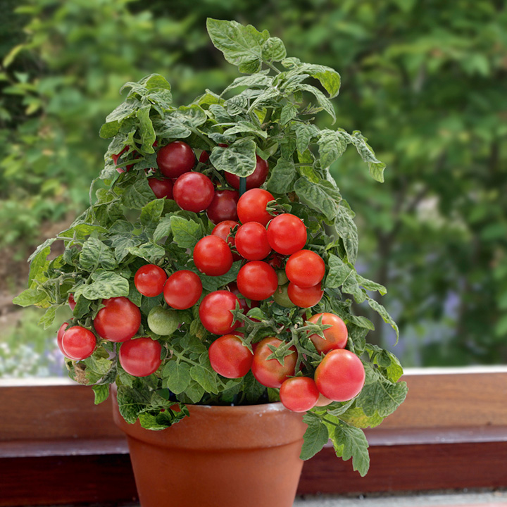 Tomato Plants - F1 Sweet 'n' Neat Red