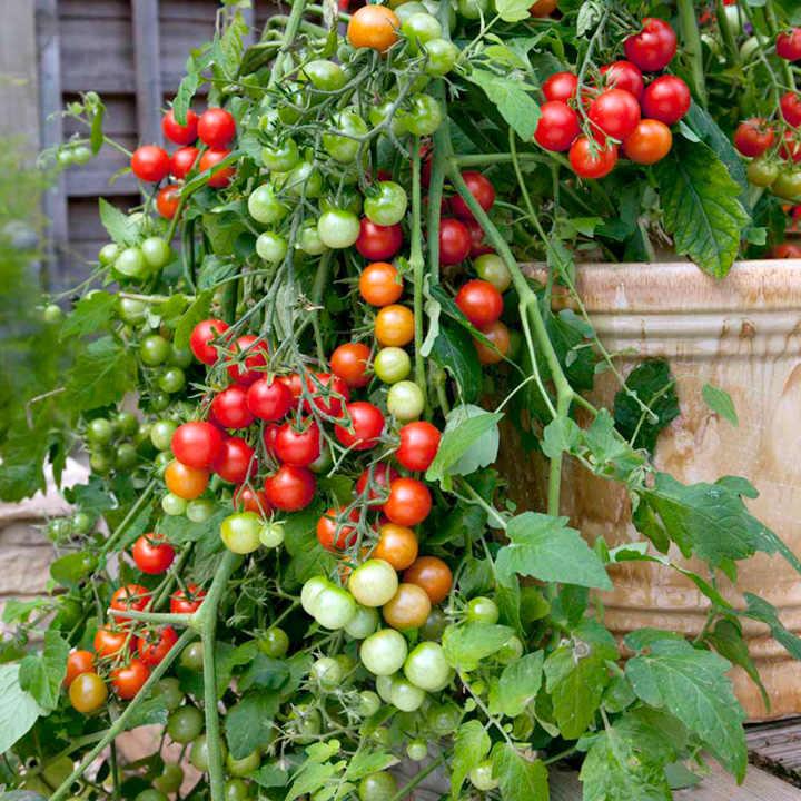 Tomato Seeds - Lizzano F1