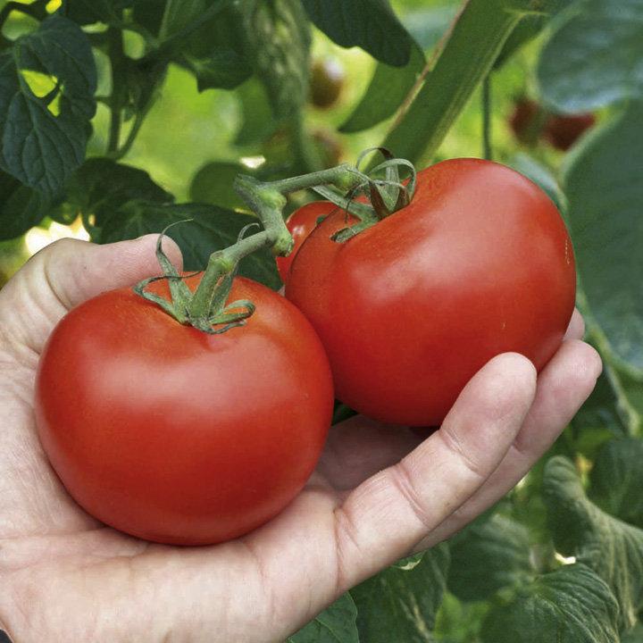 Tomato Plant - Alicante