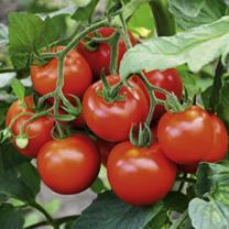 Tomato Plant - F1 Fantasio