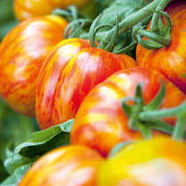 Tomato Grafted Plants - Striped Stuffer