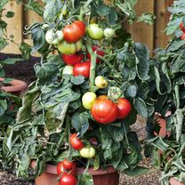 Tomato Seeds - Big League F1