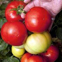 An easy to grow, self-stopping tomato, growing to just 1m (3'3) tall, and requiring no pinching out. The large, tasty, fleshy fruits weigh 320-650g. I