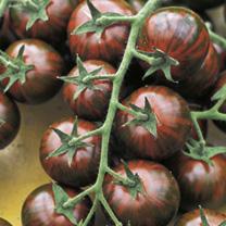 Grafted Duo Tomato Plants - F1 Sweet Petit/F1 Zebrino