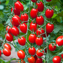 Grafted Tomato Plants - F1 Aviditas
