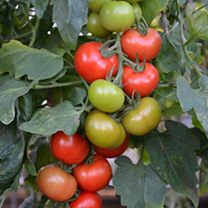 Grafted Tomato Plants - F1 Crimson Crush