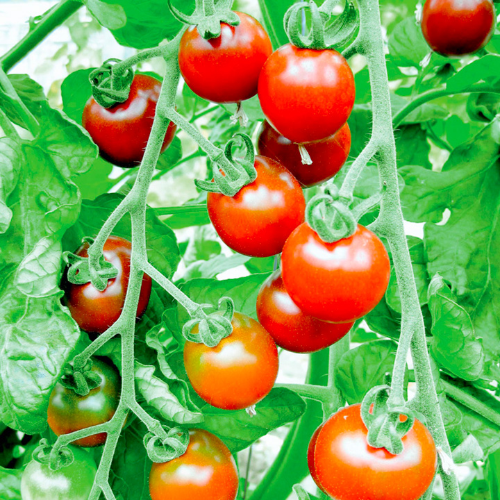 Tomato Grafted Plants - Garnet