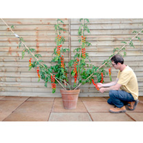 Grafted Tomato Quad Standard Plant - Maxima