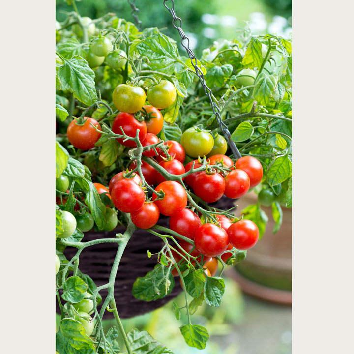 Tomato Plants - Tumbling Bella