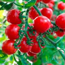 Grafted Tomato Plants - F1 Crimson Cherry