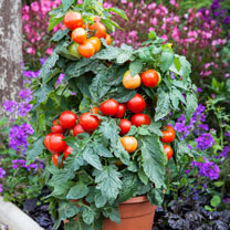 Grafted Tomato Plants - F1 Summerlast