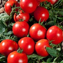 Tomato Grafted Plants - Premio