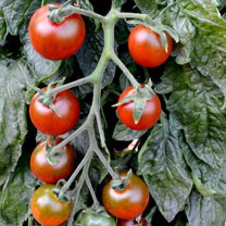 Tomato Seeds - Ruby Falls