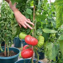 Tomato Seeds - Crimson Blush F1