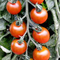 Tomato Grafted Plants - Ruby Falls