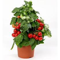 Tomato Plant - F1 Ponchi-Fa