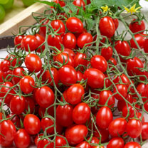 Grafted Tomato Plant - Tutti Frutti F1 Grape