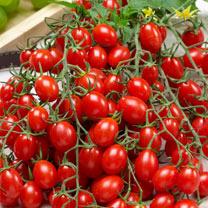 Grafted Tomato Potted Plant - Tutti Frutti F1 Grape