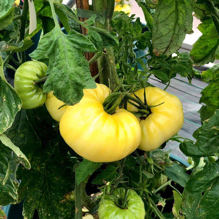 Tomato Plants - Suttons
