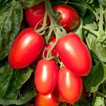 Tomato Seeds - Crimson Plum F1