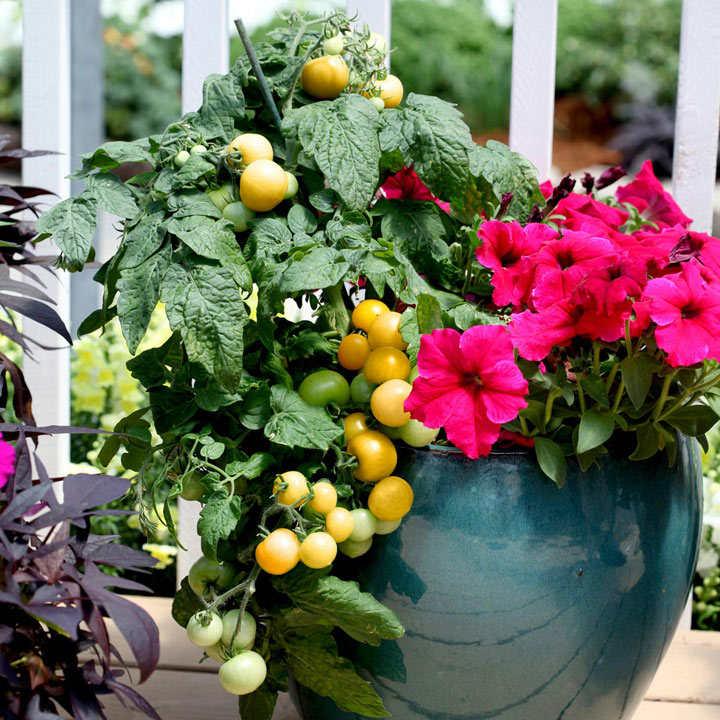 Tomato Seeds - Little Sun Yellow F1