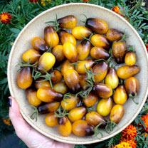 Tomato Artisan Seeds - Indigo Pear Drops